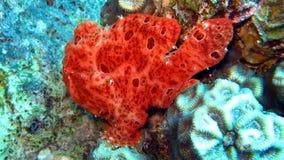 Frogfish o rana pescatrice verniciato, pictus di Antennarius Immagine Stock Libera da Diritti