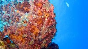 Frogfish o rana pescatrice verniciato, pictus di Antennarius Fotografia Stock