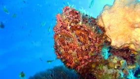 Frogfish o rana pescatrice verniciato, pictus di Antennarius Immagine Stock