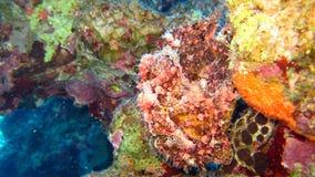 Frogfish o rana pescatrice verniciato, pictus di Antennarius Fotografie Stock Libere da Diritti
