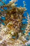Frogfish ocultado receptor de papel de Sargassum en mala hierba de deriva del mar Fotografía de archivo