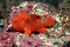 Frogfish. Painted frogfish (Antennarius pictus) on the sea floor Stock Photo