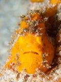 Frogfish pintado, pictus de Antennarius Pulisan, Indonésia imagens de stock royalty free
