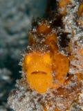 Frogfish pintado, pictus de Antennarius Pulisan, Indonésia foto de stock