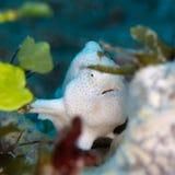 Frogfish pintado, pictus de Antennarius Pulisan, Indonésia fotografia de stock royalty free