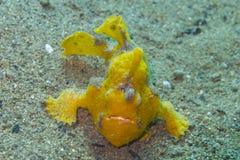 Frogfish raro do amarelo do bebê fora do capelão Burgos, Leyte, Filipinas Fotos de Stock Royalty Free