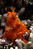 Frogfish rojo Imágenes de archivo libres de regalías