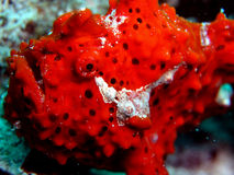 Frogfish rouge Image stock
