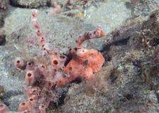 FrogFish se reposant près d'une éponge photos stock