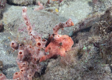 FrogFish Sitting Near a Sponge stock photos