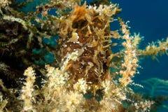 Frogfish som döljas på havsweed Arkivbild