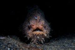 Frogfish striato Immagine Stock Libera da Diritti