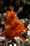 Frogfish vermelho imagens de stock royalty free