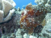 Frogfish vermelho que senta-se no recife debaixo d'água no oceano imagem de stock royalty free