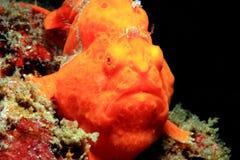 Frogfish verniciato Immagine Stock