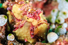 Frogfish verrugoso Imagen de archivo libre de regalías