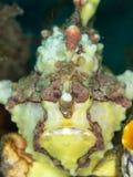 Frogfish verrugoso, maculatus de Antennarius Lembeh, Sulawesi del norte fotografía de archivo