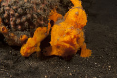 Frogfish Warty (maculatus d'Antennarius) photographie stock