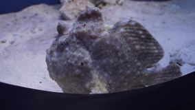 Frogfishes are any member of anglerfish family Antennariidae stock footage video. Frogfishes are any member of the anglerfish family Antennariidae stock footage stock video