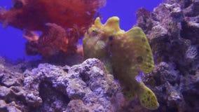 Frogfishes is om het even welk lid van anglerfish de video van de de voorraadlengte van familieantennariidae stock footage