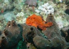 FrogFishsammanträde på en svamp Royaltyfri Bild