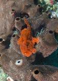 FrogFishsammanträde på en svamp 2 Fotografering för Bildbyråer