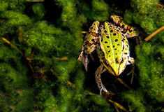 Frogg Imagen de archivo