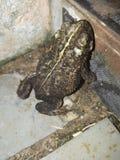 Frogg Brasil zdjęcie royalty free