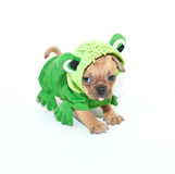 Frogger Puppy Stock Photography