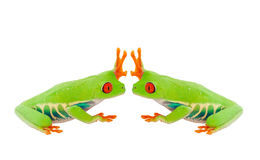 Froggie High Five. Two Red-Eyed Tree Frogs give each other the high five.  Shot on white background Stock Images