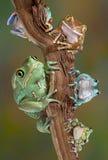 Froggies op een tak Royalty-vrije Stock Foto's