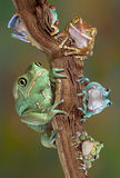 Froggies sur un branchement Photos libres de droits