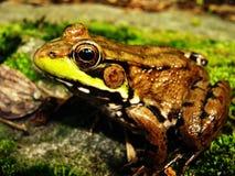 Froggin él Foto de archivo libre de regalías