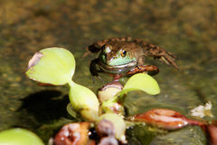 Froggy. A small frog floating in the water Stock Images
