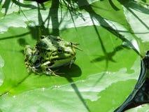 Froggy auf einer Lilienauflage stockfotografie
