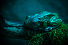 Froggy in blue Royalty Free Stock Photo