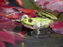Froggy love sound Stock Images