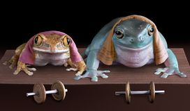 Froggy push-ups. Two tree frogs are doing push-ups at the gym Royalty Free Stock Photos