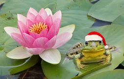 Froggy Santa. A frog is wearing a santa hat while sitting next to a water lily Stock Image