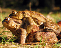 Froggy sex Stock Images