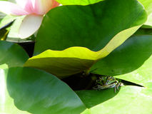 Froggy under lily pad. Frog and lily pad in a pond Royalty Free Stock Photo