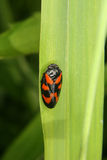 Froghopper (Cercopis vulnerata) Royalty Free Stock Photos