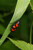 Froghopper (Cercopis vulnerata) Royalty Free Stock Image