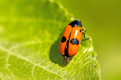 Froghopper, endangered insect in Germany. Closeup Stock Photography