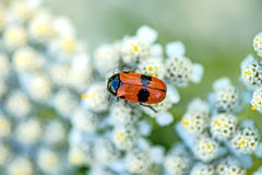 Froghopper, endangered insect in Germany. On wild carrot flower Stock Photos