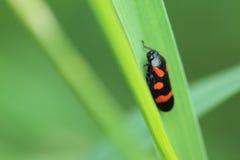 froghopper Negro-y-rojo Imágenes de archivo libres de regalías