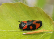 Froghopper Stock Images