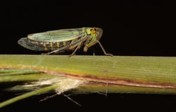 Froghopper. Stock Photo