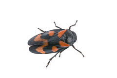 Froghopper on a white background Royalty Free Stock Photo