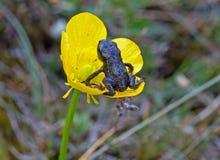 Froglet auf Butterblume Lizenzfreies Stockfoto
